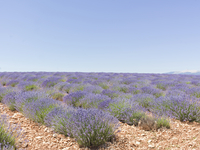 Lavender farm against clear sky