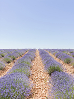 Scenic view of lavender farm against clear sky