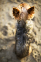 High angle view of Yorkshire Terrier relaxing on sand