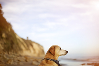 Labrador Retriever looking away while relaxing at beach