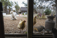 Hens and poodle on field seen through chicken coop