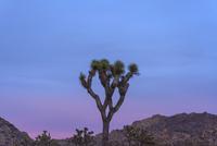 Joshua tree against dramatic sky at dusk