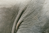Close-up of elephant tail