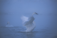 Swan flapping wings in lake during foggy weather