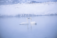 Swans swimming in lake during winter
