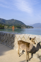 Deer standing by retaining wall against Itsukushima Shrine