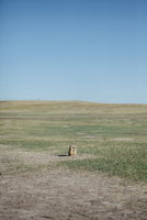 Prairie dogs on field against clear blue sky