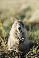 Close-up portrait of prairie dog eating food on grassy field