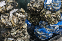 Close-up of oysters packed in net at market