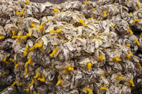 Close-up of oysters packed in netting