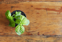 Overhead view of basil plant on table