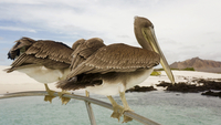 Close-up of brown pelicans on railing over sea