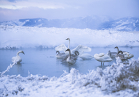 Swans in lake during winter
