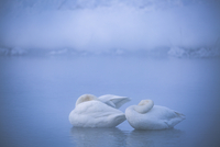 Swans sleeping in lake