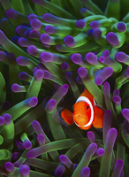 Close-up of clown fish swimming by coral undersea