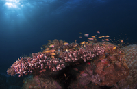 Fishes swimming by coral undersea