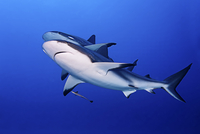 Low angle view of sharks swimming undersea