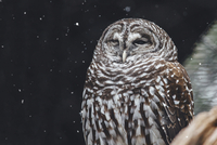 Close-up of owl during snow fall