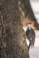 Close-up side view of woodpecker pecking on tree trunk