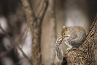 Close-up of squirrel biting tail while sitting on tree trunk