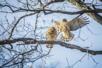 Low angle view of ring tailed hawks