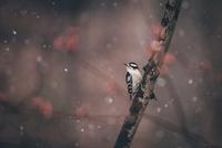 Close-up of downy woodpecker perching on branch 11100056740| 写真素材・ストックフォト・画像・イラスト素材|アマナイメージズ
