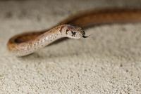 High angle close-up of brown snake flicking tongue