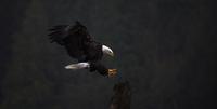Close-up of Bald eagle flying