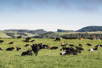 Cows grazing on grassy field against blue sky