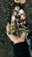 Cropped hand of man holding plants with sea shells at beach 11100058510| 写真素材・ストックフォト・画像・イラスト素材|アマナイメージズ
