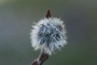 High angle close-up of dandelion seed