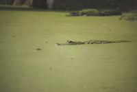 Caiman swimming in swamp