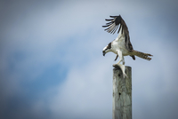 Low angle view of osprey holding fish on pole against cloudy sky