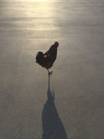 High angle view of hen standing on road during sunny day