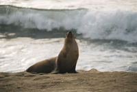 Sea lion on shore at beach