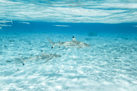 Blacktip reef sharks swimming in sea