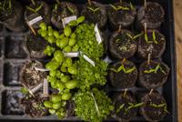 Overhead view of saplings in tray 11100059867| 写真素材・ストックフォト・画像・イラスト素材|アマナイメージズ
