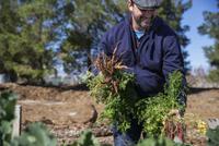Farmer harvesting carrots at farm 11100060070| 写真素材・ストックフォト・画像・イラスト素材|アマナイメージズ