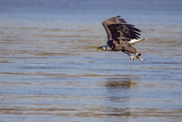 Bald eagle hunting fish over lake