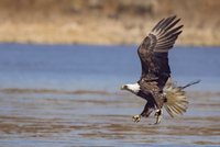 Side view of bald eagle hunting fish over lake