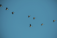 Low angle view of Canada Geese flying in clear blue sky