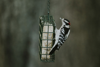 Close-up of woodpecker on bird feeder