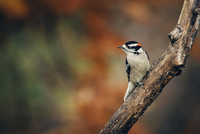 Close-up of woodpecker perching on plant stem 11100060690| 写真素材・ストックフォト・画像・イラスト素材|アマナイメージズ