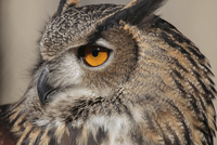 Close-up of eagle owl 11100060691  写真素材・ストックフォト・画像・イラスト素材 アマナイメージズ
