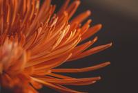 Close-up of chrysanthemum 11100060699  写真素材・ストックフォト・画像・イラスト素材 アマナイメージズ