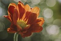 Close-up of dahlia growing outdoors