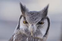 Close-up portrait of white-faced owl 11100060714  写真素材・ストックフォト・画像・イラスト素材 アマナイメージズ