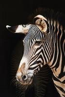 Close-up of zebra against black background 11100060883| 写真素材・ストックフォト・画像・イラスト素材|アマナイメージズ