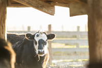 Portrait of cow in shed