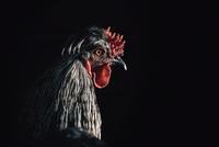 Close-up of hen in darkroom